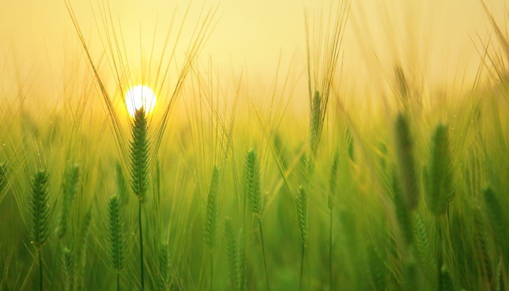 agriculture-barley-field-beautiful-207247